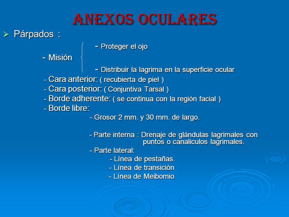 ANEXOS OCULARES Párpados : Párpados : - Proteger el ojo - Proteger el ojo - Misión - Misión - Distribuir la lagrima en la superficie ocular - Distribuir la lagrima en la superficie ocular - Cara anterior: ( recubierta de piel ) - Cara anterior: ( recubierta de piel ) - Cara posterior: ( Conjuntiva Tarsal ) - Cara posterior: ( Conjuntiva Tarsal ) - Borde adherente: ( se continua con la región facial ) - Borde adherente: ( se continua con la región facial ) - Borde libre: - Borde libre: - Grosor 2 mm.