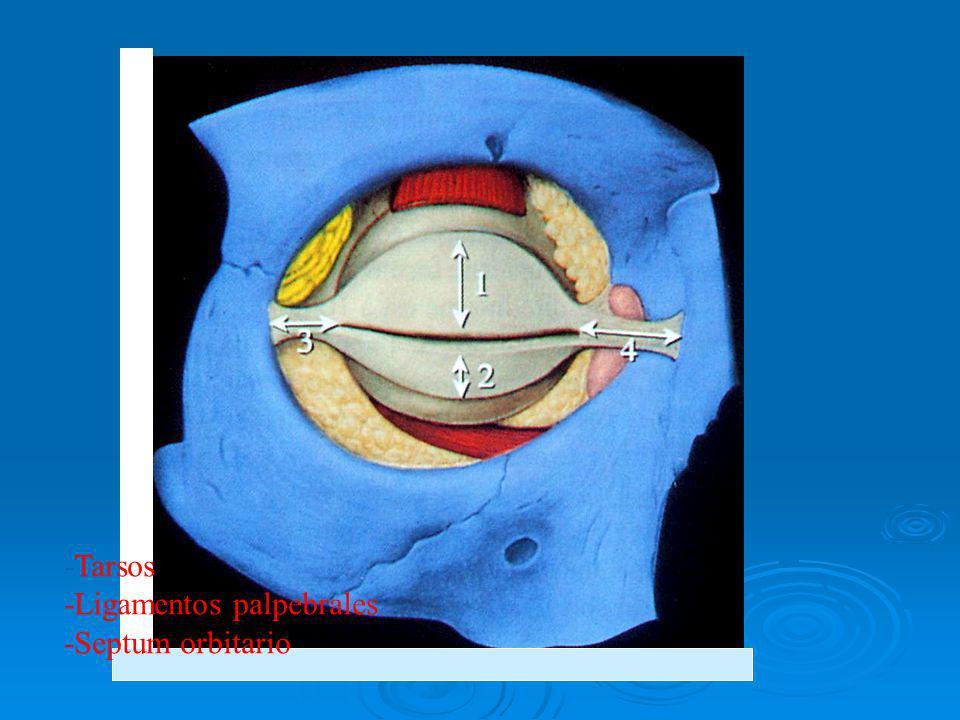 -Tarsos -Ligamentos palpebrales -Septum orbitario