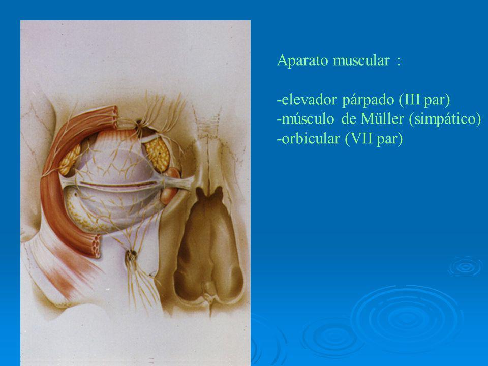Aparato muscular : -elevador párpado (III par) -músculo de Müller (simpático) -orbicular (VII par)