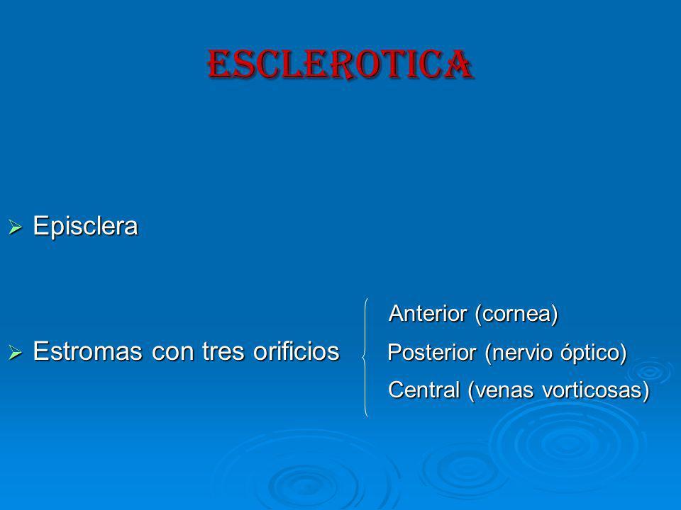 ESCLEROTICA Episclera Episclera Anterior (cornea) Anterior (cornea) Estromas con tres orificios Posterior (nervio óptico) Estromas con tres orificios Posterior (nervio óptico) Central (venas vorticosas) Central (venas vorticosas)