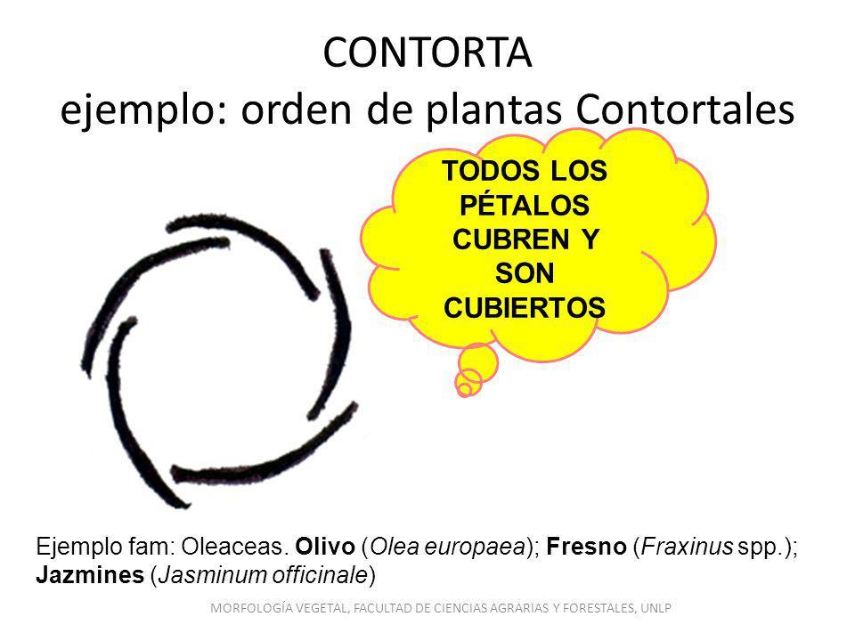 CONTORTA ejemplo: orden de plantas Contortales TODOS LOS PÉTALOS CUBREN Y SON CUBIERTOS Ejemplo fam: Oleaceas. Olivo (Olea europaea); Fresno (Fraxinus