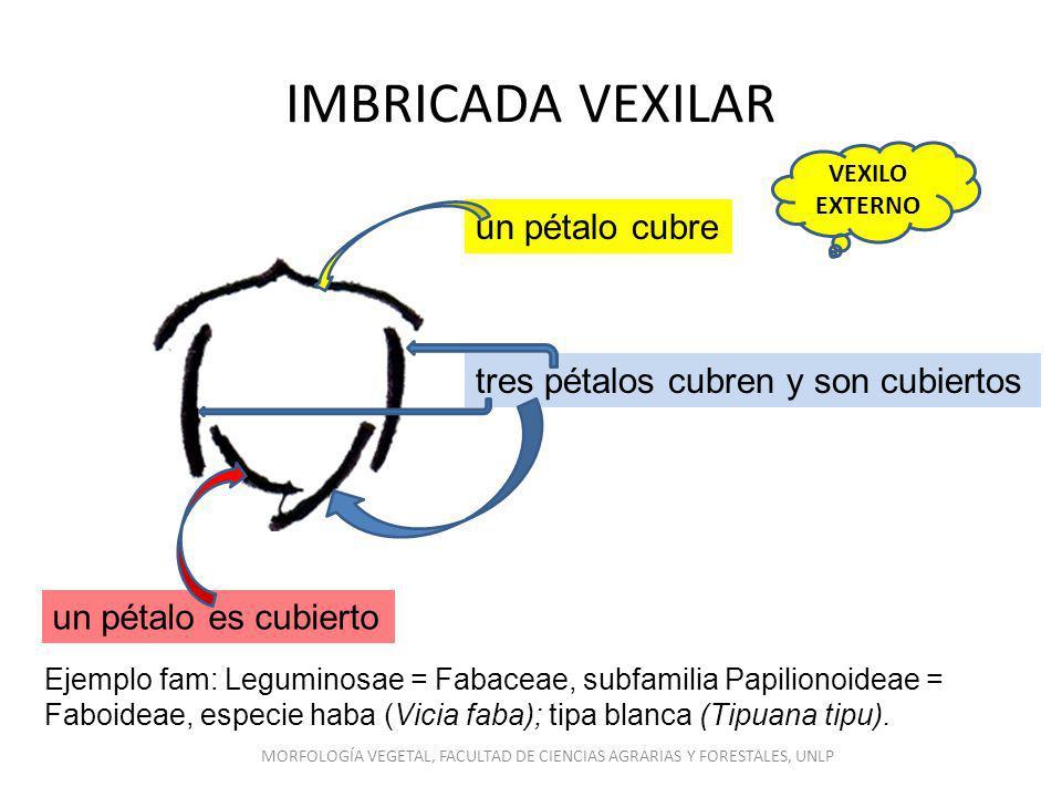 IMBRICADA VEXILAR Ejemplo fam: Leguminosae = Fabaceae, subfamilia Papilionoideae = Faboideae, especie haba (Vicia faba); tipa blanca (Tipuana tipu). u