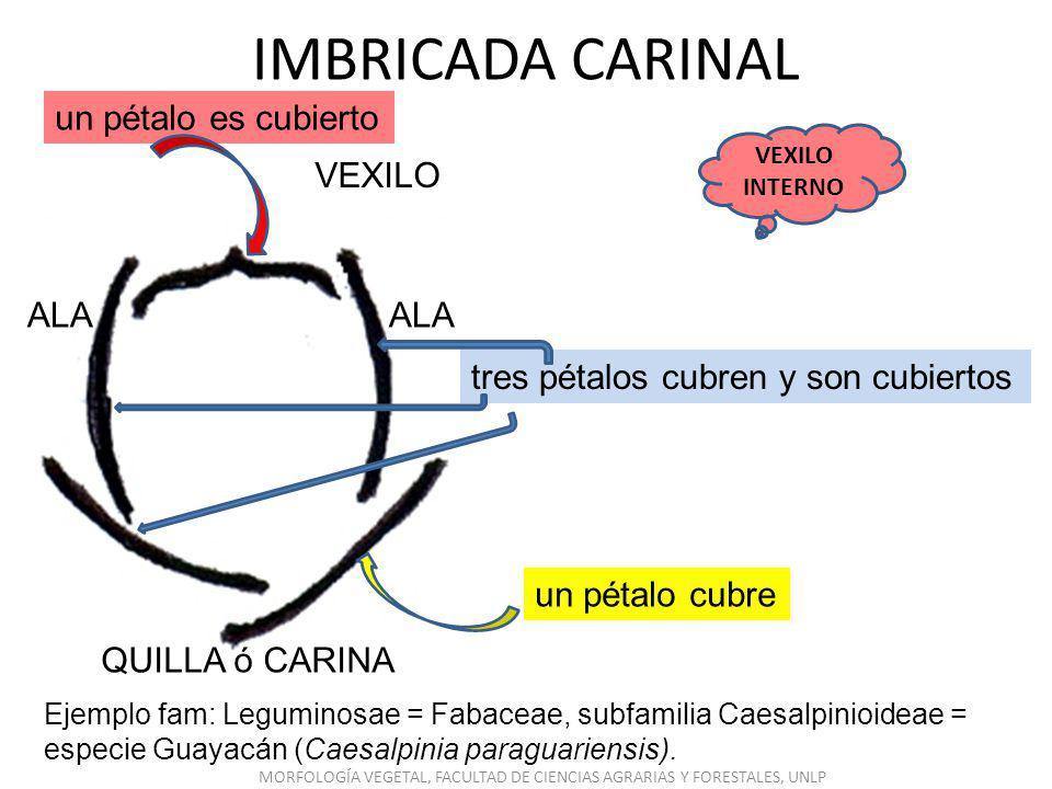 VALVAR LOS PÉTALOS NO CUBREN NI SON CUBIERTOS Ejemplo fam: Leguminosae = Fabaceae, subfamilia Mimosoideae, especie aromos (Acacia spp.).