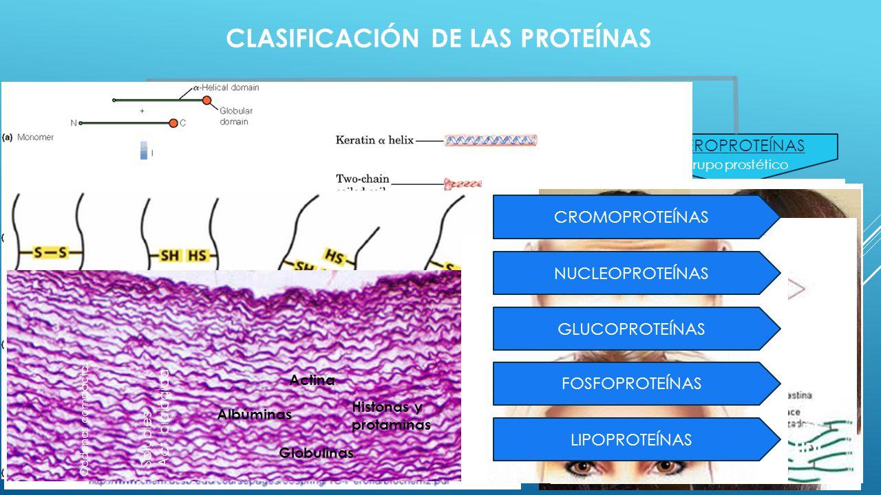 CLASIFICACIÓN DE LAS PROTEÍNAS HOLOPROTEÍNAS HETEROPROTEÍNAS FIBROSAS GLOBULARES Sólo Aas Ordenados en 1D Insolubles Estructurales Colágeno Miosina Qu