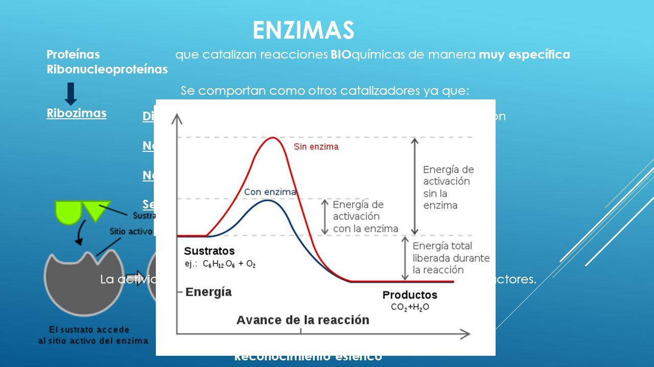 ENZIMAS Proteínas que catalizan reacciones BIO químicas de manera muy específica Ribonucleoproteínas Ribozimas Reconocimiento estérico Se comportan co