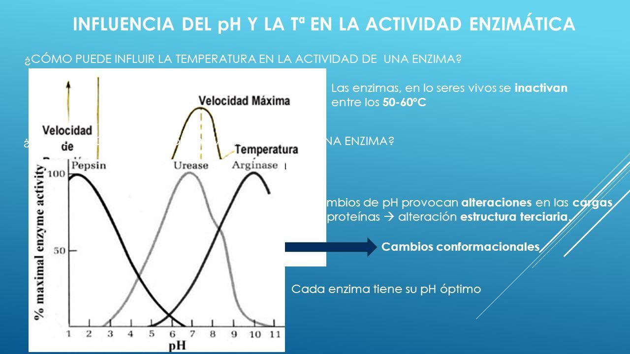 INFLUENCIA DEL pH Y LA Tª EN LA ACTIVIDAD ENZIMÁTICA ¿CÓMO PUEDE INFLUIR LA TEMPERATURA EN LA ACTIVIDAD DE UNA ENZIMA? Las enzimas, en lo seres vivos