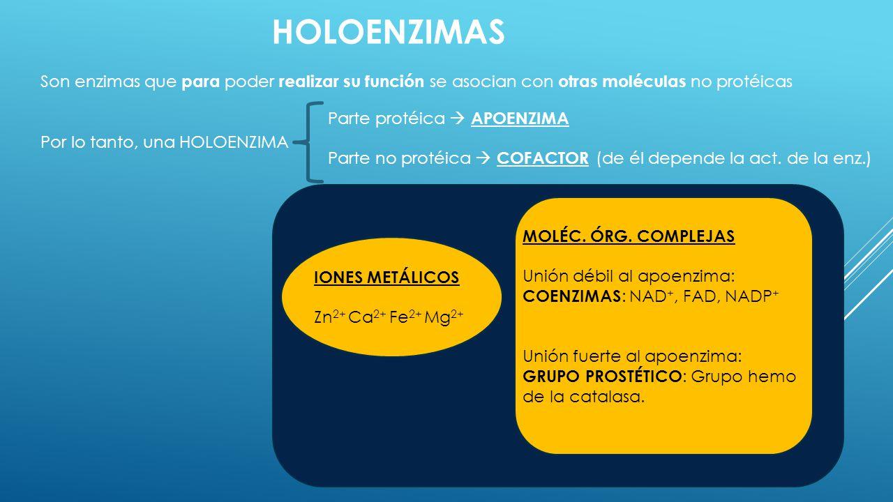 HOLOENZIMAS Son enzimas que para poder realizar su función se asocian con otras moléculas no protéicas Por lo tanto, una HOLOENZIMA Parte protéica APO