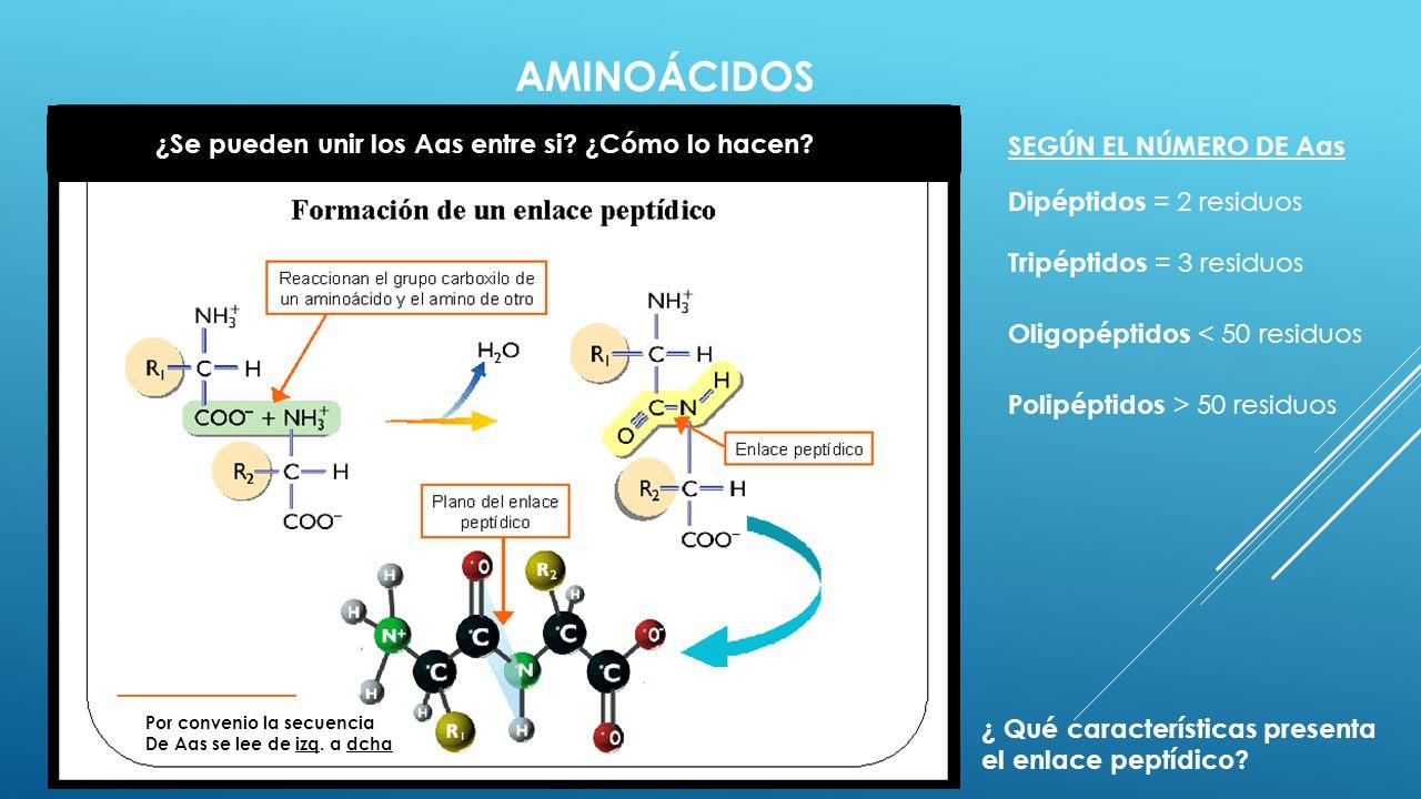 AMINOÁCIDOS ¿Se pueden unir los Aas entre si? ¿Cómo lo hacen? Dipéptidos = 2 residuos Tripéptidos = 3 residuos Oligopéptidos < 50 residuos Polipéptido