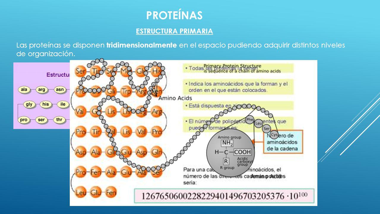 PROTEÍNAS ESTRUCTURA PRIMARIA Las proteínas se disponen tridimensionalmente en el espacio pudiendo adquirir distintos niveles de organización.