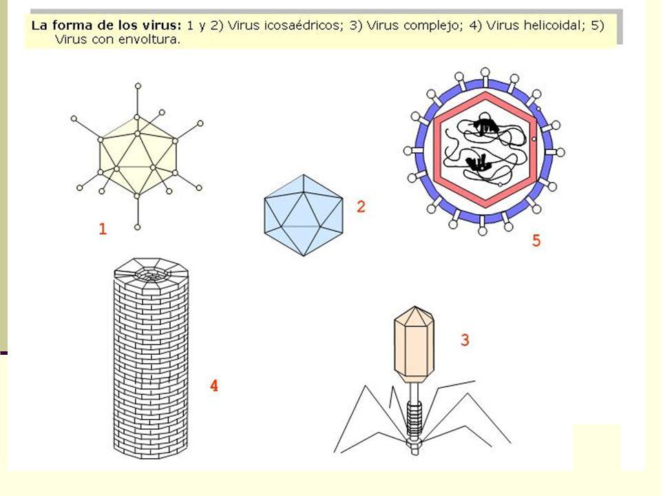 Virus de animales En el espacio entre la envoltura y la nucleocapside en virus de animales, se encuentra una matriz de proteínas que fortalece la envo