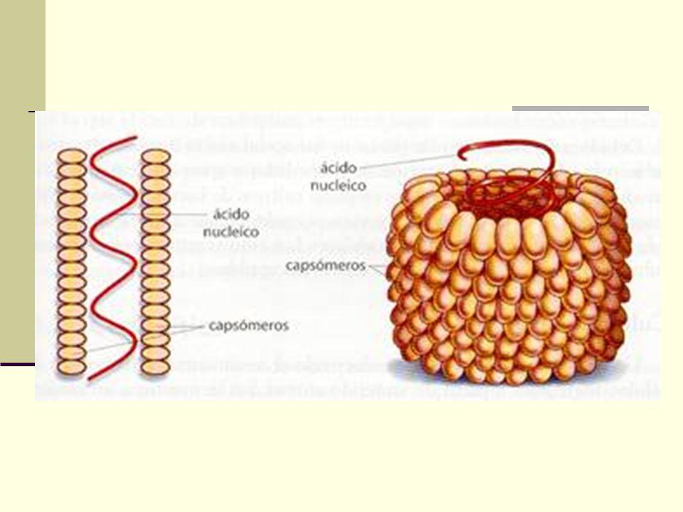 Virus Helicoidales Ejemplos: Virus del mosaico del tabaco (TMV), Virus Rabies (Animales). TMV esta compuesto de 2,130 subunidades proteicas acomodadas