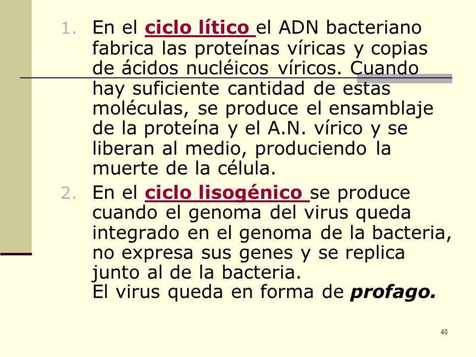 39 En los dos casos de infección el proceso empieza de esta forma: 1. Fase de fijación (a): Los virus se unen por la placa basal a la cubierta de la p