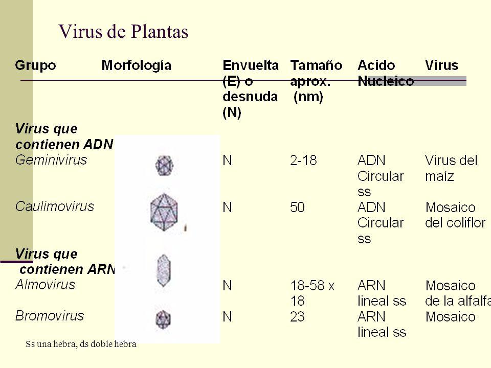 Familias de Bacteriofagos Ss una hebra, ds doble hebra