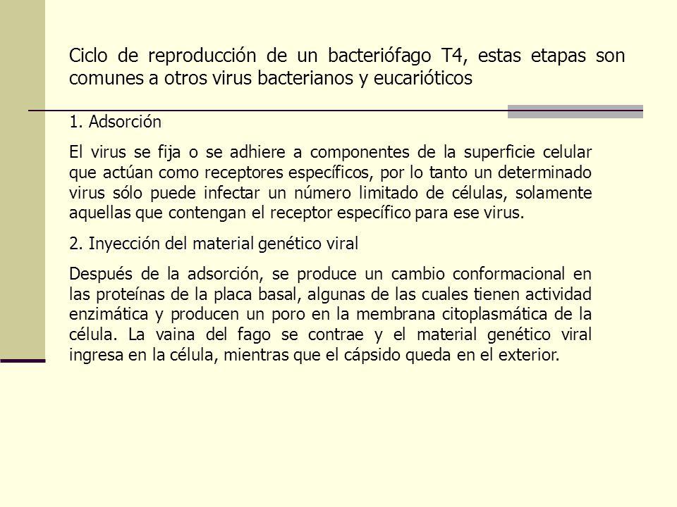 Virus de Inmunodeficiencia adquirida Se han descubierto al menos dos tipos: HIV-1 y HIV-2. HIV-1 posee 2 copias de ARN de una sola hebra, 72 espiculas
