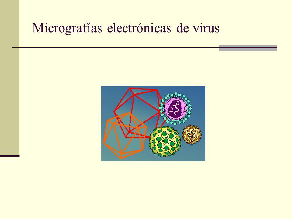 Replicación ARN a. Virus con una hebra de ARN se replican tomando como templados ARN. b. En retrovirus, el ARN viral sirve como templado para la sinté