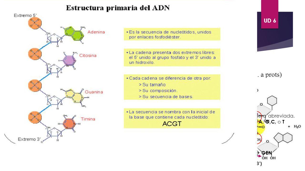 UD 6 ÁCIDOS NUCLÉICOS. Ácido desoxirribonuleico ADN Es un polímero lineal formado por desoxirribonucleotidos de A,T,C,G. Presenta estructuras PRIMARIA