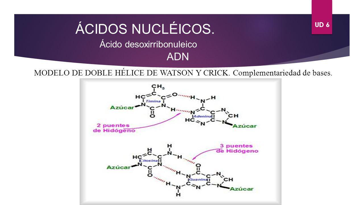 UD 6 ÁCIDOS NUCLÉICOS. Ácido desoxirribonuleico ADN MODELO DE DOBLE HÉLICE DE WATSON Y CRICK. Complementariedad de bases.