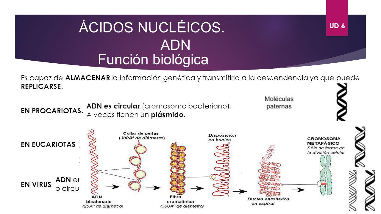UD 6 ÁCIDOS NUCLÉICOS. ADN Función biológica Es capaz de ALMACENAR la información genética y transmitirla a la descendencia ya que puede REPLICARSE. E