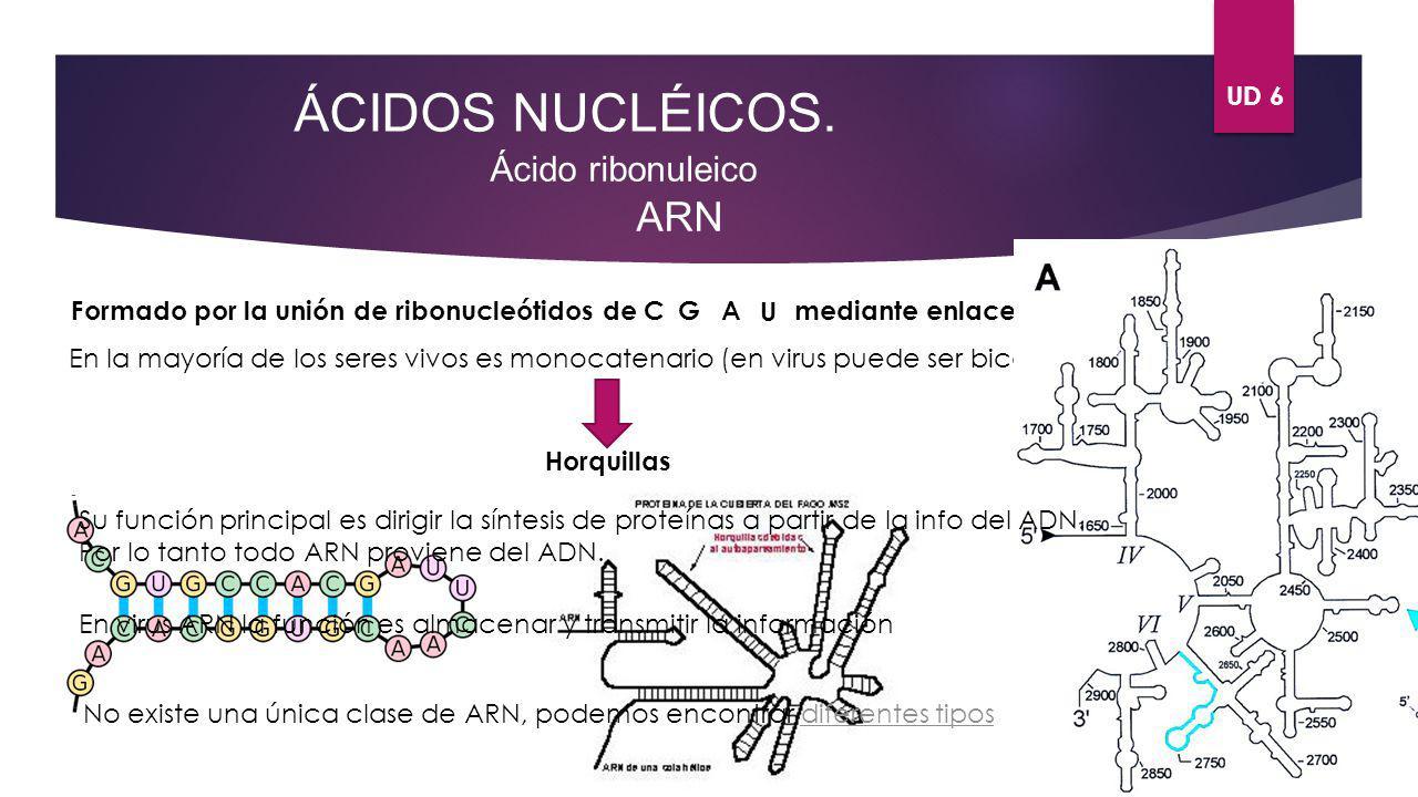 UD 6 ÁCIDOS NUCLÉICOS. Ácido ribonuleico ARN Formado por la unión de ribonucleótidos de CGA Umediante enlaces fosfodiéster 5 3 En la mayoría de los se