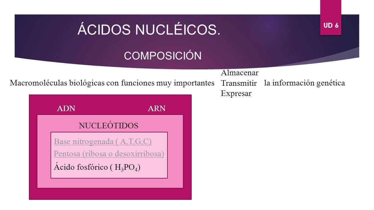 UD 6 ÁCIDOS NUCLÉICOS. COMPOSICIÓN Macromoléculas biológicas con funciones muy importantes Almacenar Transmitir Expresar la información genética ADN A