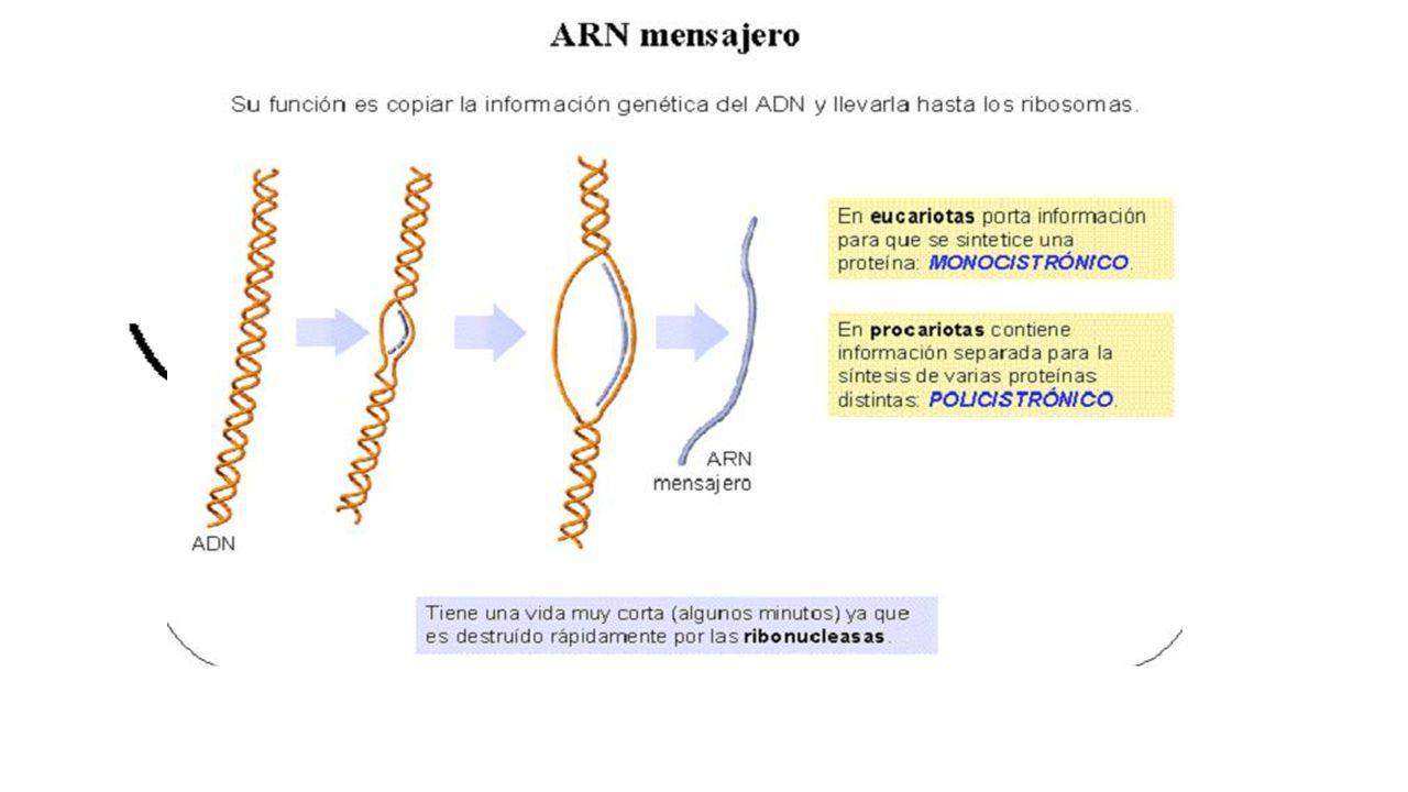 UD 6 ÁCIDOS NUCLÉICOS. TIPOS DE ARN ARNm VOLVER Entre el 2% -5% del ARN total Estructura lineal (alguna que otra horquilla) Función principal Llevar l