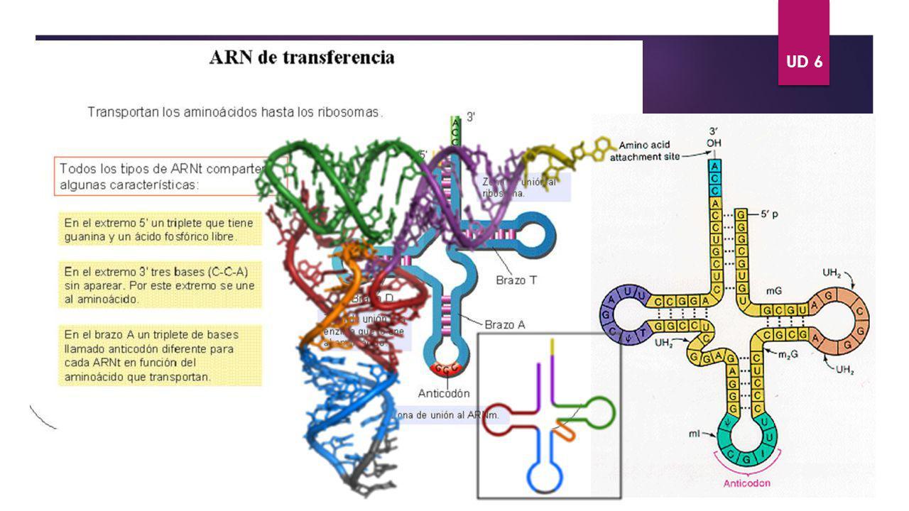 UD 6 ÁCIDOS NUCLÉICOS. TIPOS DE ARN ARNt VOLVER