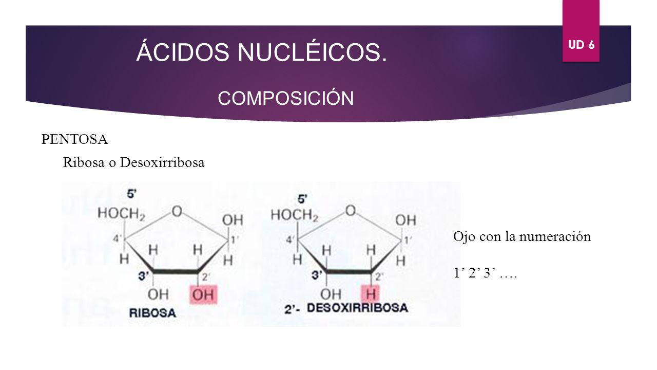 UD 6 ÁCIDOS NUCLÉICOS.COMPOSICIÓN ¿Qué ocurre cuando se unen una base nitrogenada y una pentosa.
