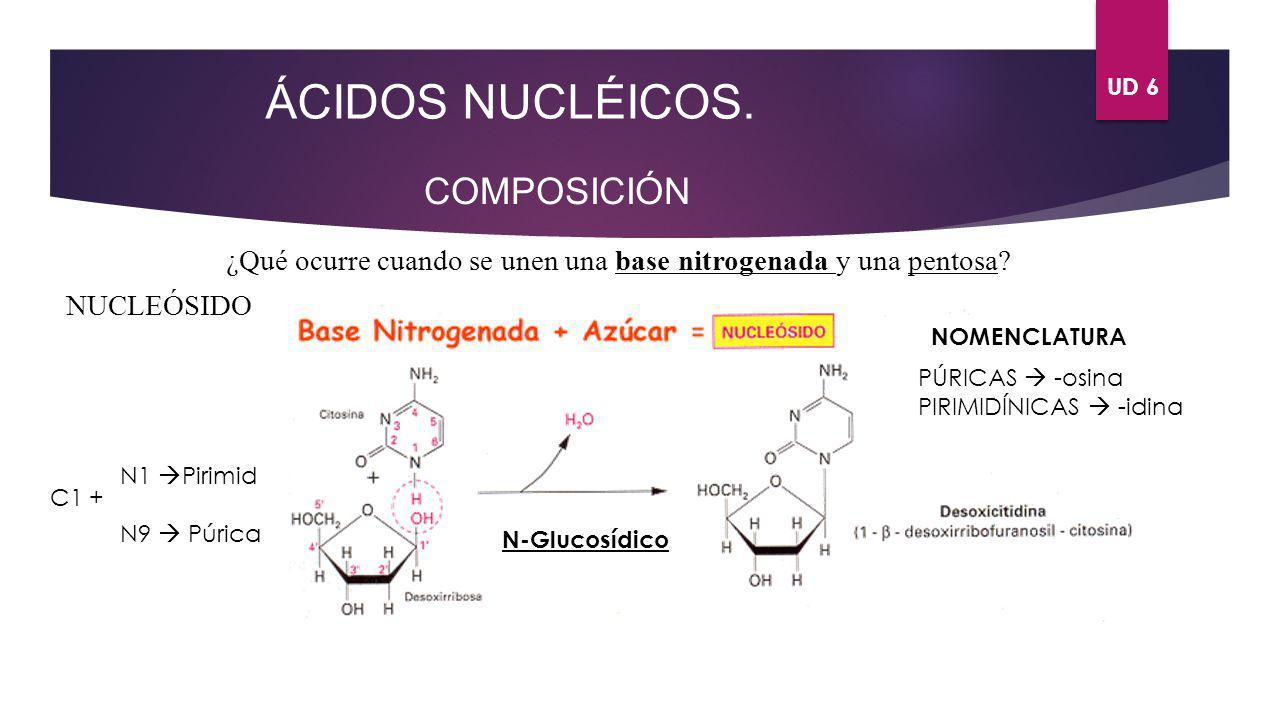 UD 6 ÁCIDOS NUCLÉICOS. COMPOSICIÓN ¿Qué ocurre cuando se unen una base nitrogenada y una pentosa? NUCLEÓSIDO C1 + N1 Pirimid N9 Púrica N-Glucosídico N
