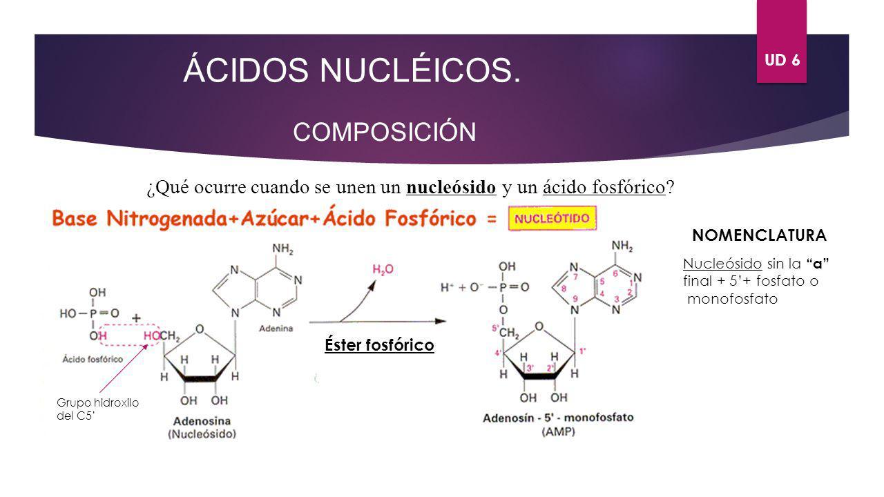 UD 6 ÁCIDOS NUCLÉICOS. COMPOSICIÓN ¿Qué ocurre cuando se unen un nucleósido y un ácido fosfórico? Éster fosfórico Grupo hidroxilo del C5 NOMENCLATURA