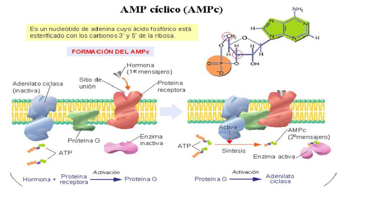 UD 6 ÁCIDOS NUCLÉICOS. Nucleótidos NO nucléicos AMPc Se forma a partir del ATP celular en la membrana plasmática gracias a la ADENILATO CICLASA