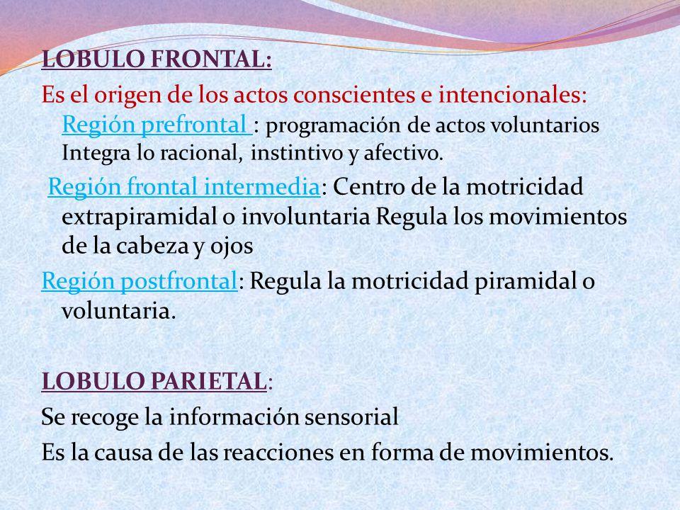 LOBULO FRONTAL: Es el origen de los actos conscientes e intencionales: Región prefrontal : programación de actos voluntarios Integra lo racional, inst