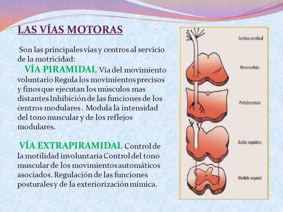 LAS VÍAS MOTORAS Son las principales vías y centros al servicio de la motricidad: VÍA PIRAMIDAL Vía del movimiento voluntario Regula los movimientos p