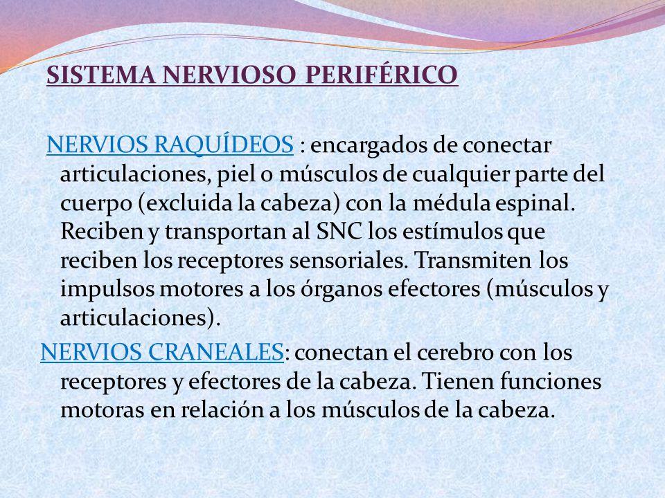 SISTEMA NERVIOSO PERIFÉRICO NERVIOS RAQUÍDEOS : encargados de conectar articulaciones, piel o músculos de cualquier parte del cuerpo (excluida la cabe