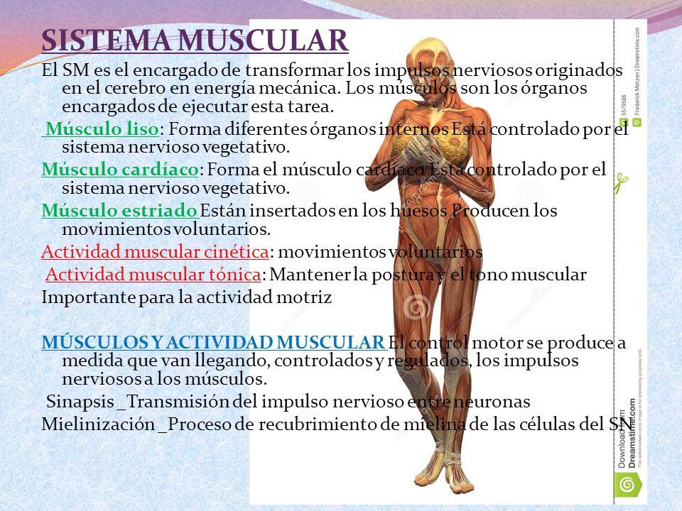 SISTEMA MUSCULAR El SM es el encargado de transformar los impulsos nerviosos originados en el cerebro en energía mecánica. Los músculos son los órgano
