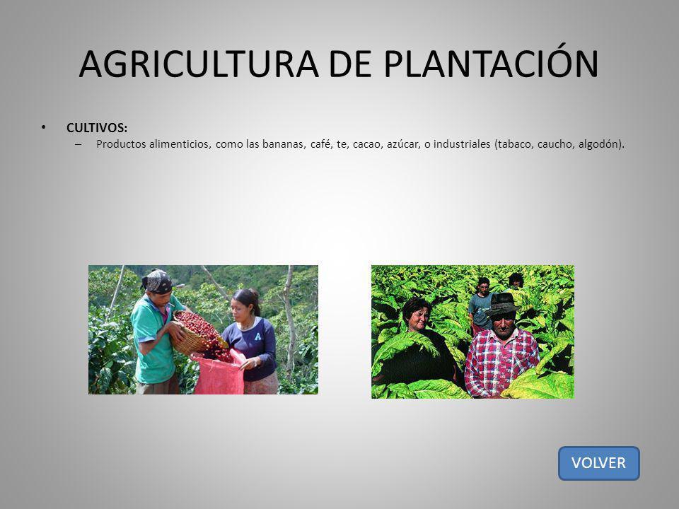 AGRICULTURA DE PLANTACIÓN CULTIVOS: – Productos alimenticios, como las bananas, café, te, cacao, azúcar, o industriales (tabaco, caucho, algodón). VOL