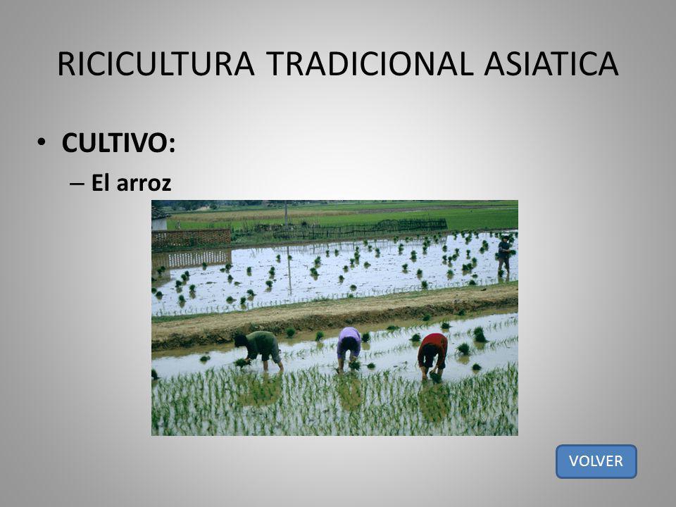 RICICULTURA TRADICIONAL ASIATICA CULTIVO: – El arroz VOLVER