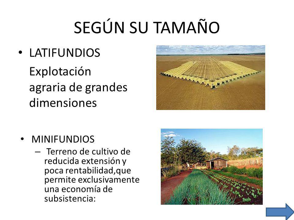 SEGÚN SU TAMAÑO LATIFUNDIOS Explotación agraria de grandes dimensiones MINIFUNDIOS – Terreno de cultivo de reducida extensión y poca rentabilidad,que permite exclusivamente una economía de subsistencia: