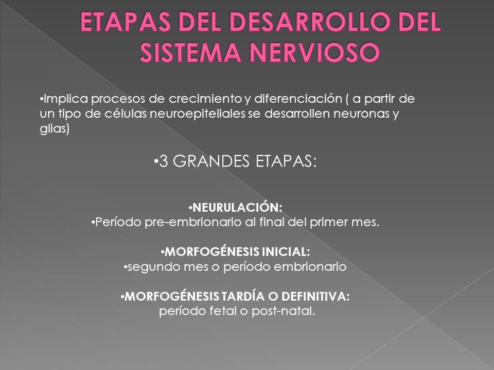 Implica procesos de crecimiento y diferenciación ( a partir de un tipo de células neuroepiteliales se desarrollen neuronas y glias) 3 GRANDES ETAPAS: