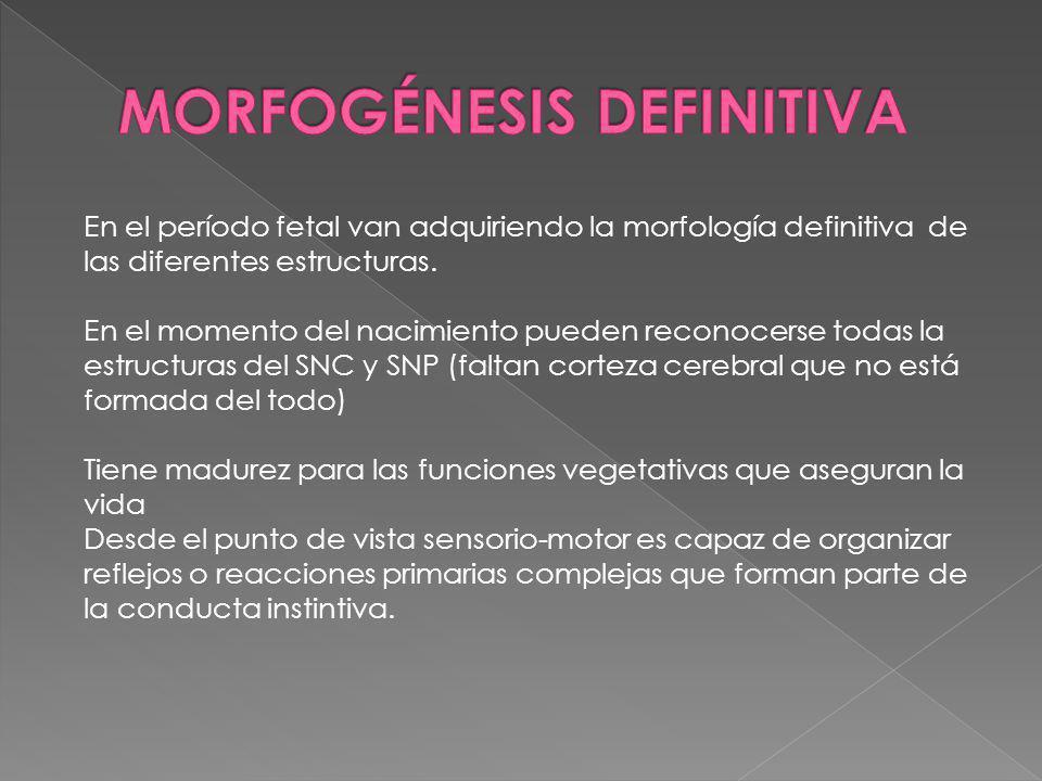 En el período fetal van adquiriendo la morfología definitiva de las diferentes estructuras. En el momento del nacimiento pueden reconocerse todas la e