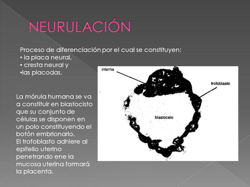 Proceso de diferenciación por el cual se constituyen: la placa neural, cresta neural y las placodas. La mórula humana se va a constituir en blastocist