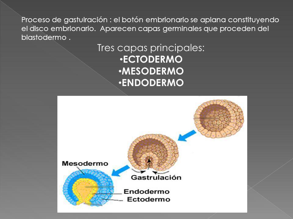 Proceso de gastulración : el botón embrionario se aplana constituyendo el disco embrionario. Aparecen capas germinales que proceden del blastodermo. T