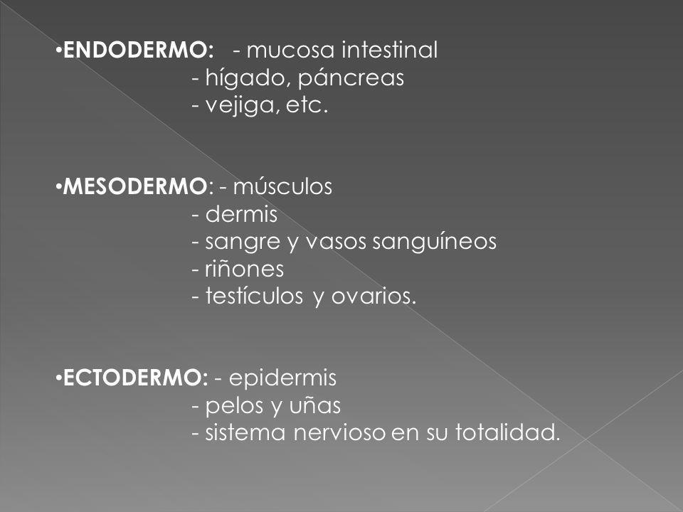 ENDODERMO: - mucosa intestinal - hígado, páncreas - vejiga, etc. MESODERMO : - músculos - dermis - sangre y vasos sanguíneos - riñones - testículos y