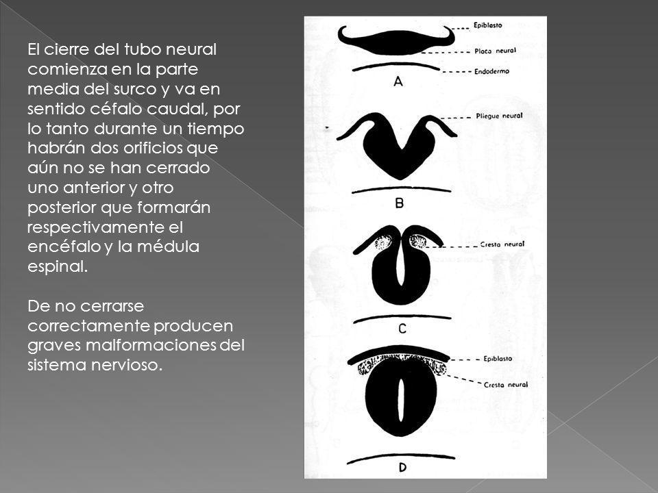 El cierre del tubo neural comienza en la parte media del surco y va en sentido céfalo caudal, por lo tanto durante un tiempo habrán dos orificios que