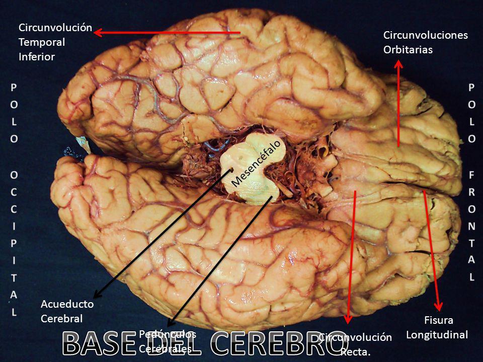 Acueducto Cerebral Mesencéfalo Pedúnculos Cerebrales Fisura Longitudinal Circunvoluciones Orbitarias Circunvolución Temporal Inferior Circunvolución Recta.