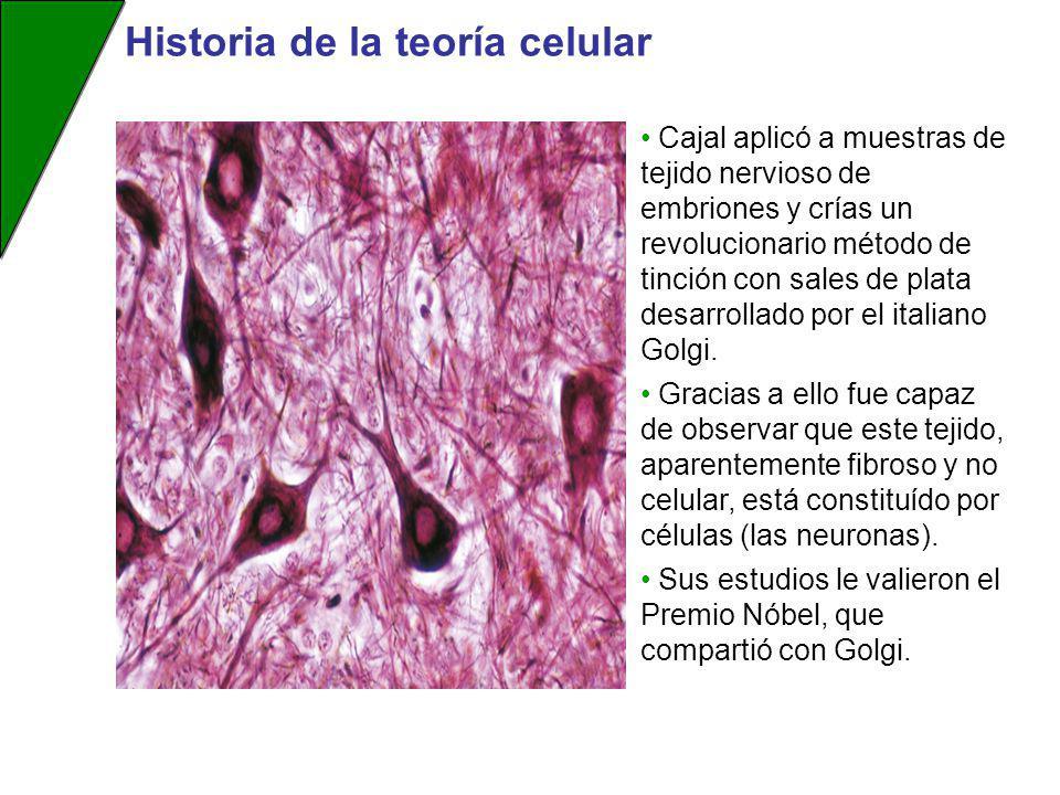 Cajal aplicó a muestras de tejido nervioso de embriones y crías un revolucionario método de tinción con sales de plata desarrollado por el italiano Go