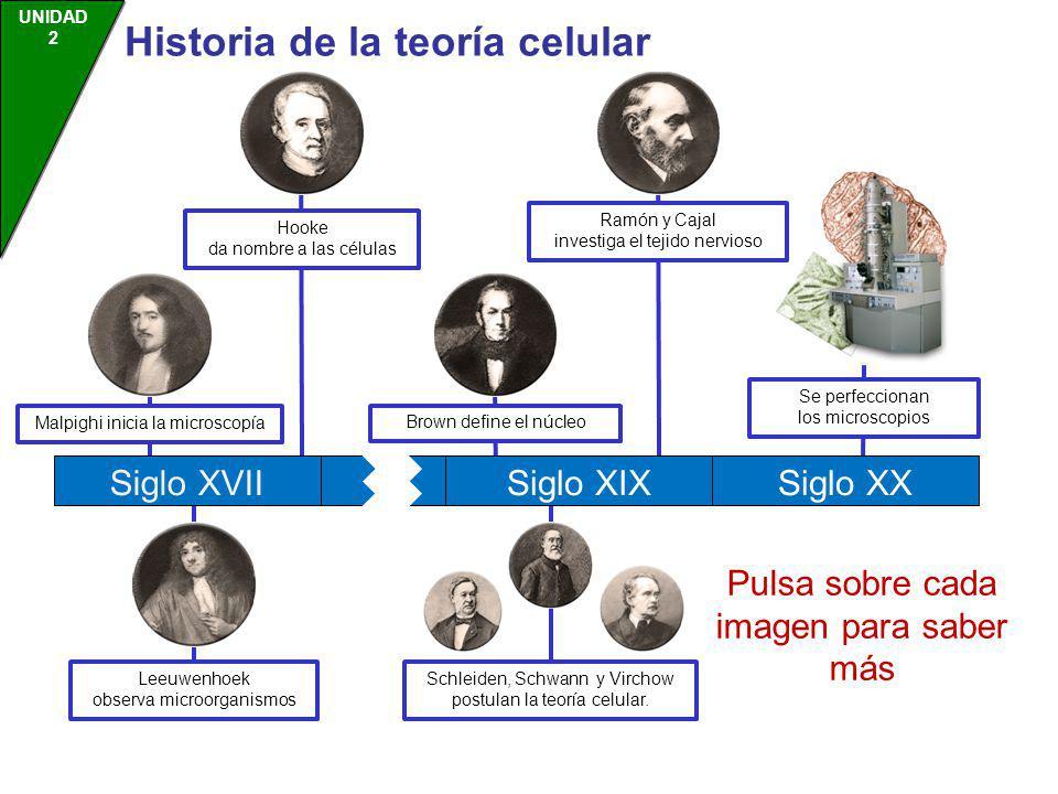 UNIDAD 2 Historia de la teoría celular Malpighi inicia la microscopía Hooke da nombre a las células Leeuwenhoek observa microorganismos Brown define e