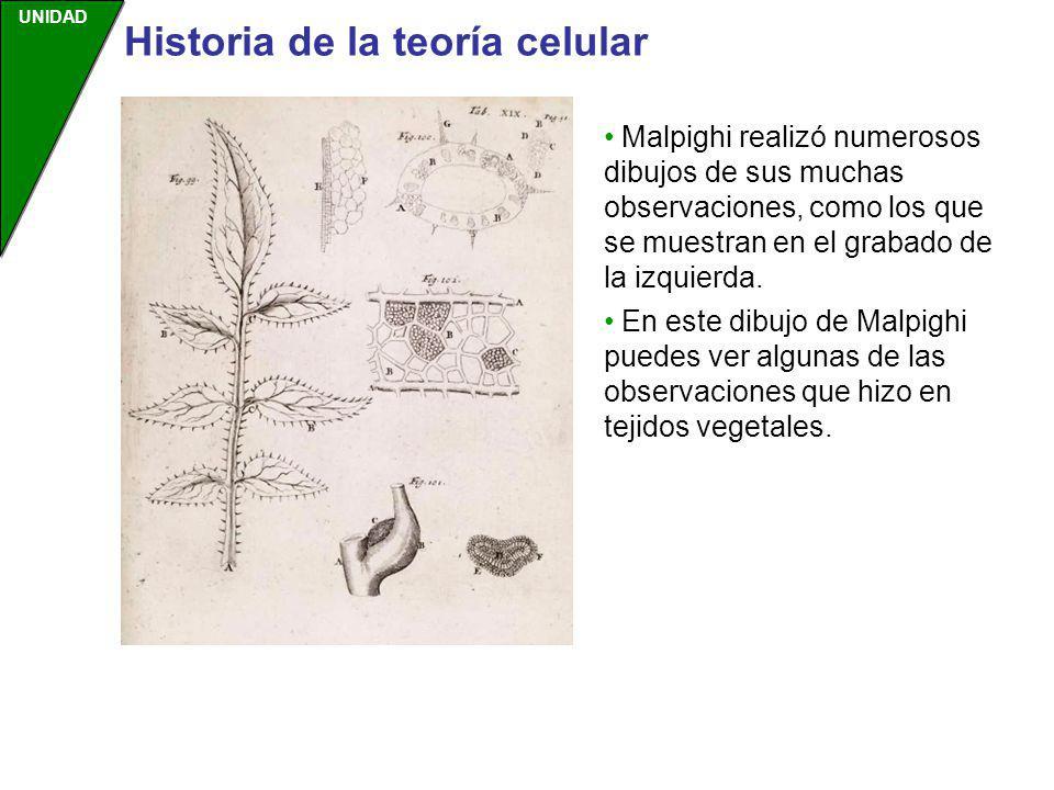 UNIDAD Malpighi realizó numerosos dibujos de sus muchas observaciones, como los que se muestran en el grabado de la izquierda. En este dibujo de Malpi