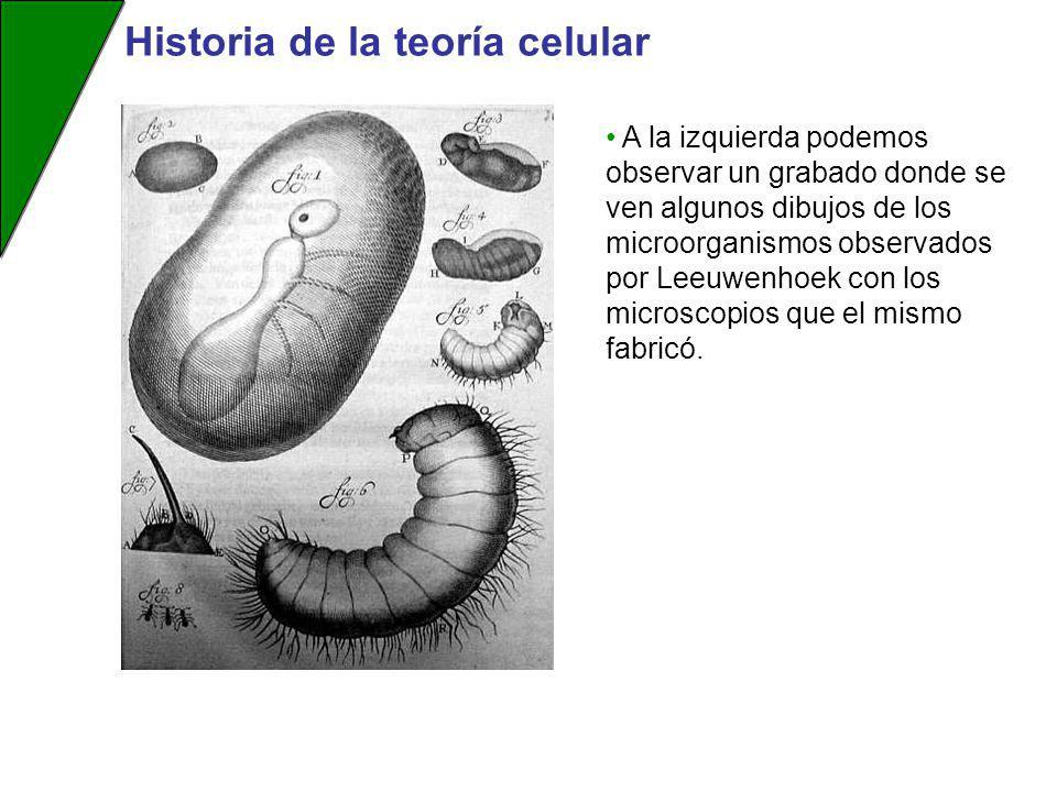A la izquierda podemos observar un grabado donde se ven algunos dibujos de los microorganismos observados por Leeuwenhoek con los microscopios que el