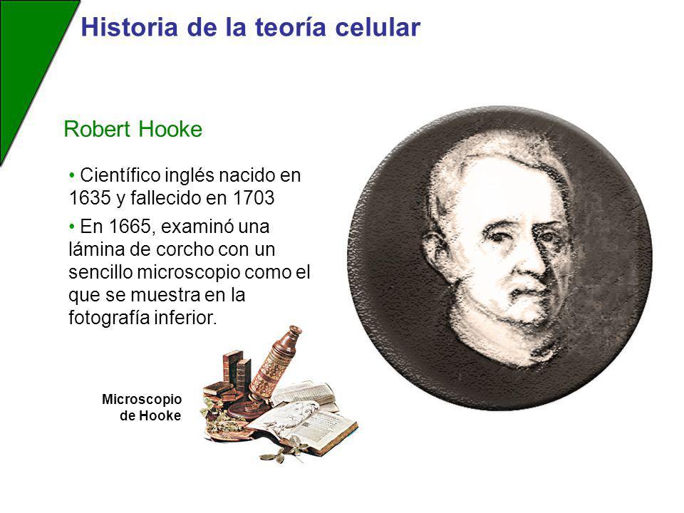 Robert Hooke Científico inglés nacido en 1635 y fallecido en 1703 En 1665, examinó una lámina de corcho con un sencillo microscopio como el que se mue