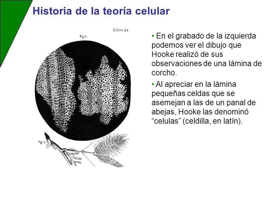En el grabado de la izquierda podemos ver el dibujo que Hooke realizó de sus observaciones de una lámina de corcho. Al apreciar en la lámina pequeñas